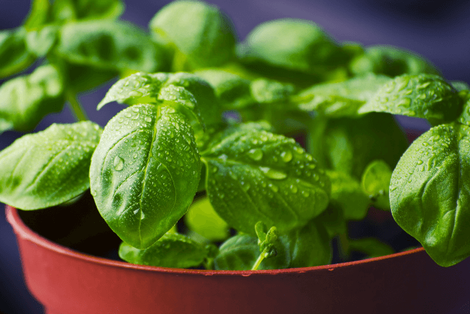 Basil, Nutritional Facts and Health Benefits