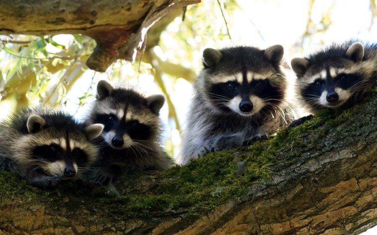 four darling raccoons