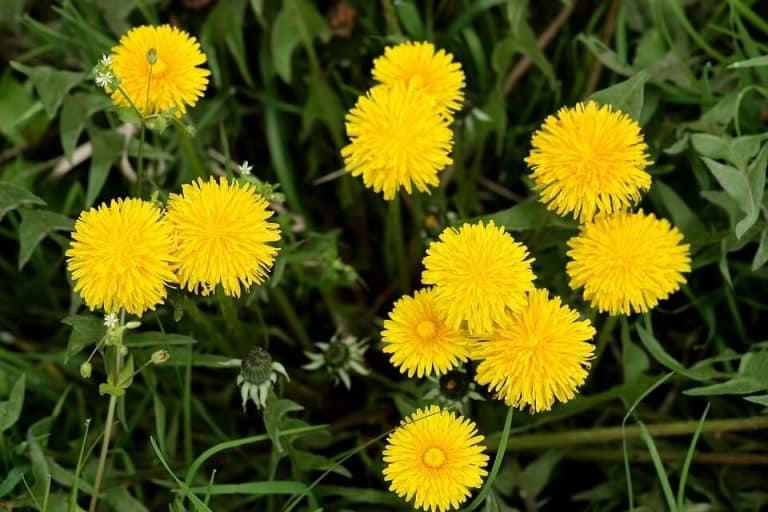 Benefits of Dandelions