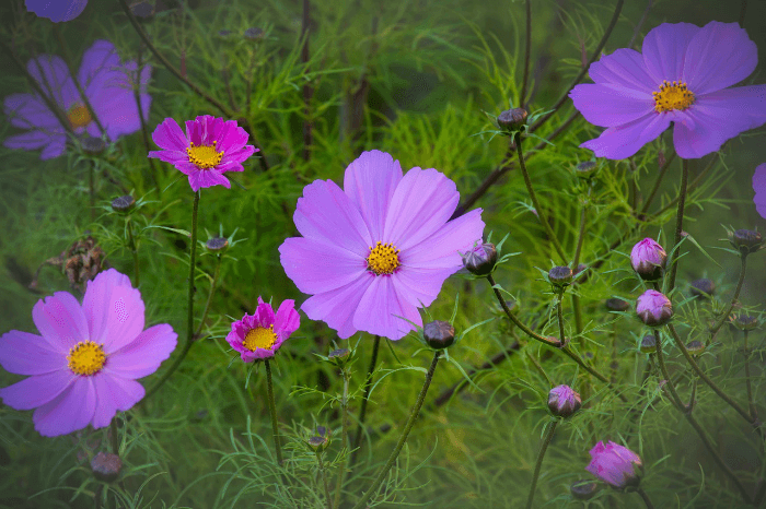 field of Cosmos flowers pixabay