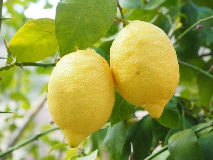 lemons hanging on a tree