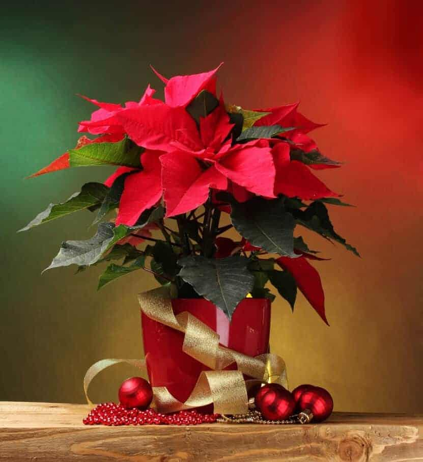 Poinsettia plant with christmas ornametns - deposit